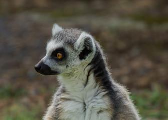 lemur catta / Ring Tailed Lemur