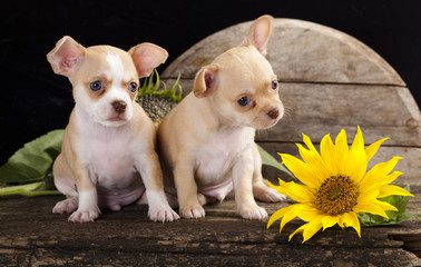 Chihuahua puppy and sunflower