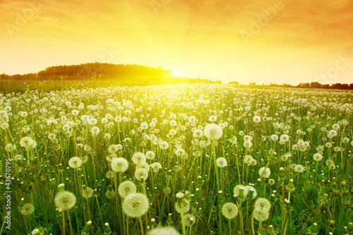 Fototapety, obrazy : Dandelions in meadow during sunset.