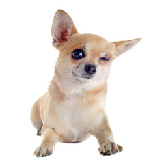 wink of chihuahua