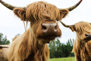 Hairy cow scottish highland