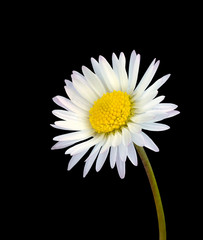 White common daisy flower isolated on black