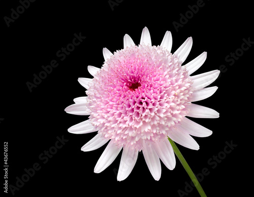 Pink Daisy with large center flower Isolated on black