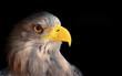 The evil eye (Eagle head).