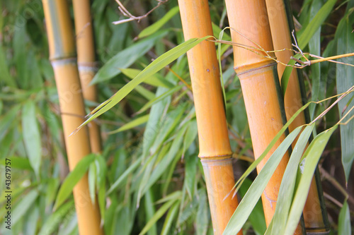 Bamboo - 43679757
