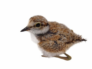 Beautiful baby Little Ringed Plover isolated on white background