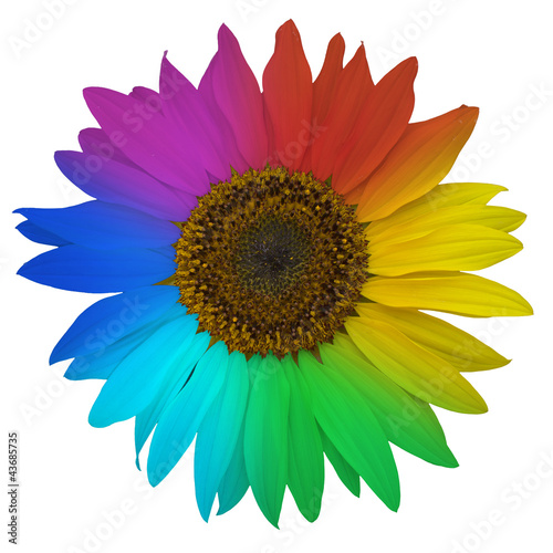 Open blossom of rainbow sunflower