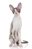 Cornish rex kitten on a white background