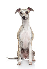 Whippet dog on white background