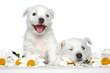 Happy Puppies in daisies