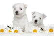 White Terrier puppies in daisies