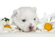 White Terrier puppy in daisies
