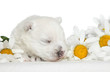 White Terrier puppy sleep in daisies