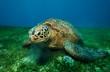 Huge turtle eating seaweed underwater