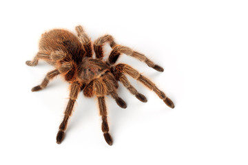 Grammostola Rosea - Rote Chile-Vogelspinne