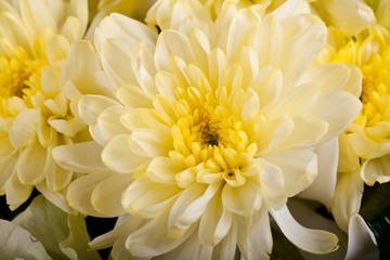 chrysanthemums closeup