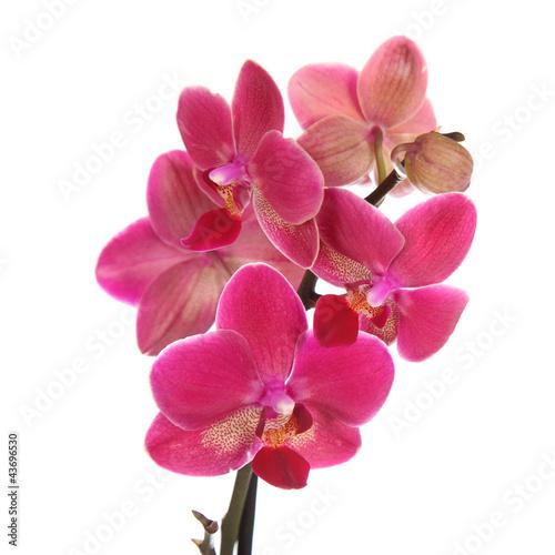 Fototapeten,orchidee,rosa,blume,blühen