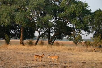 Afrika Szene, South Luangwa, Zambia