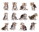 collection of American Shorthair cat kitten