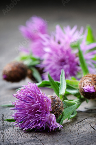 Scottish thistle flower