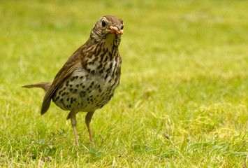 British Song Thrush with bread in its beak.