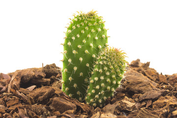 cactus growing out of the soil