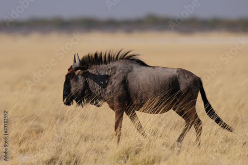 Staande foto Antilope Streifengnu