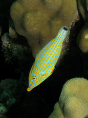 Harlequin Filefish - Oxymonocanthus halli