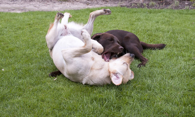 brown and white labrador play