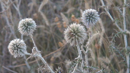 Beautiful white thistle