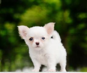 lovely chiwawa puppy