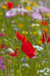 poppy flowers on a spring meadow