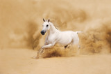 White Arabian Horse running in desert - 43715340