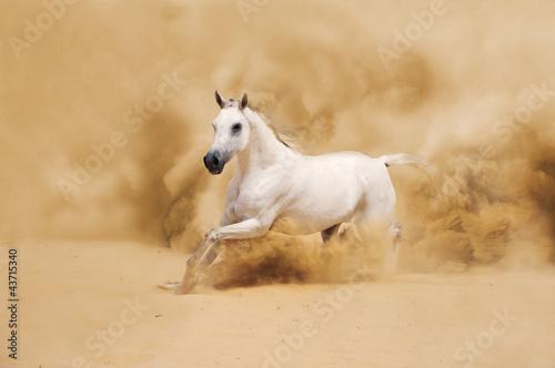White Arabian Horse running in desert