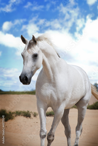 An Arabian Horse on a pasture