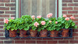 Geraniums in Wrought Iron Window Box