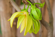 Ylang-Ylang Flowers on tree , Thailand