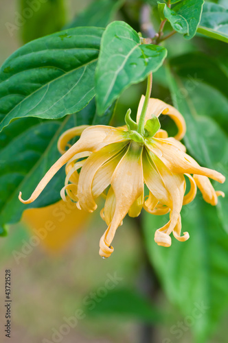 Ylang-Ylang flower  for the manufacture of essential oil