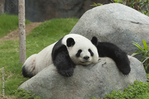 Deurstickers Panda Giant panda bear sleeping
