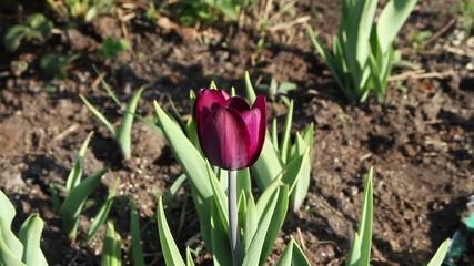 magenta tulip