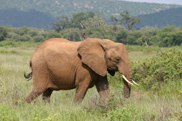 Elefant, Elephant in African Savannah