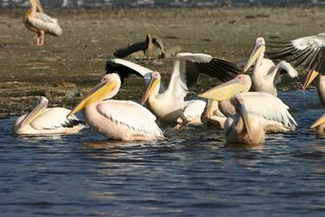 Pelican, Pelikan at Lake Nakuru, Kenya