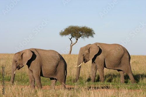 Elefanten, Elephants in African Savannah