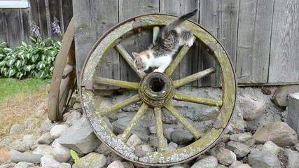 ancient carriage wheel and playing kitten in farm