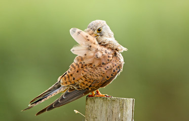 Young common Kestrel polish his feathers