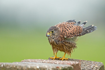 Young common Kestrel after a rainshower
