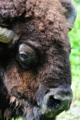 American bison face