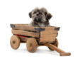 Shih tzu puppy in wagon