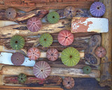 variety of colorful sea urchins on twigs and wood