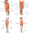 leg muscles - 43736502